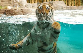Tiger Insider Tour at Busch Gardens Tampa Bay