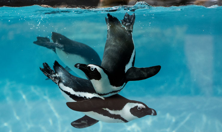 Penguins at Busch Gardens Tampa Bay