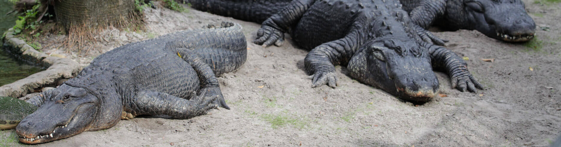 Alligators and Other Reptiles at Busch Gardens Tampa Bay