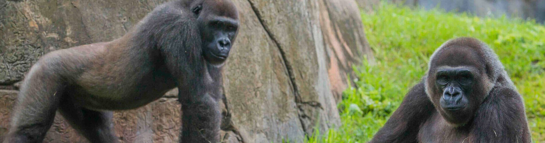 Gorillas and Other Primates at Busch Gardens Tampa Bay
