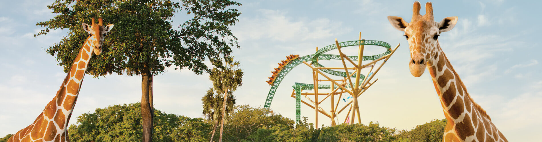 Two giraffes and a roller coaster at Busch Gardens Tampa Bay animal theme park, located in Florida