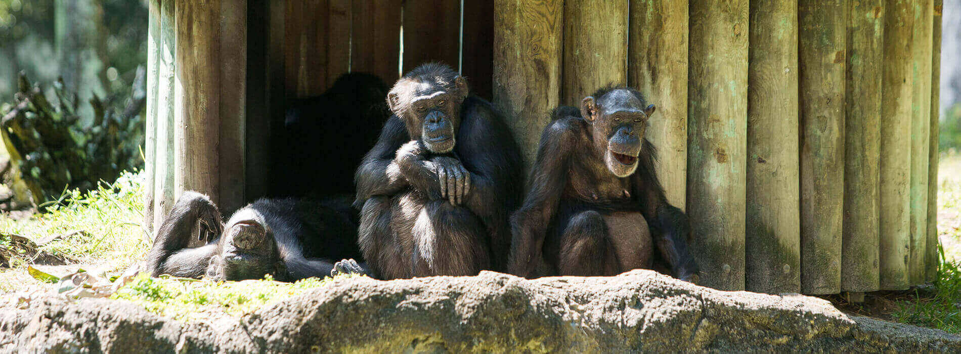 Chimpanzees at Busch Gardens Tampa Bay