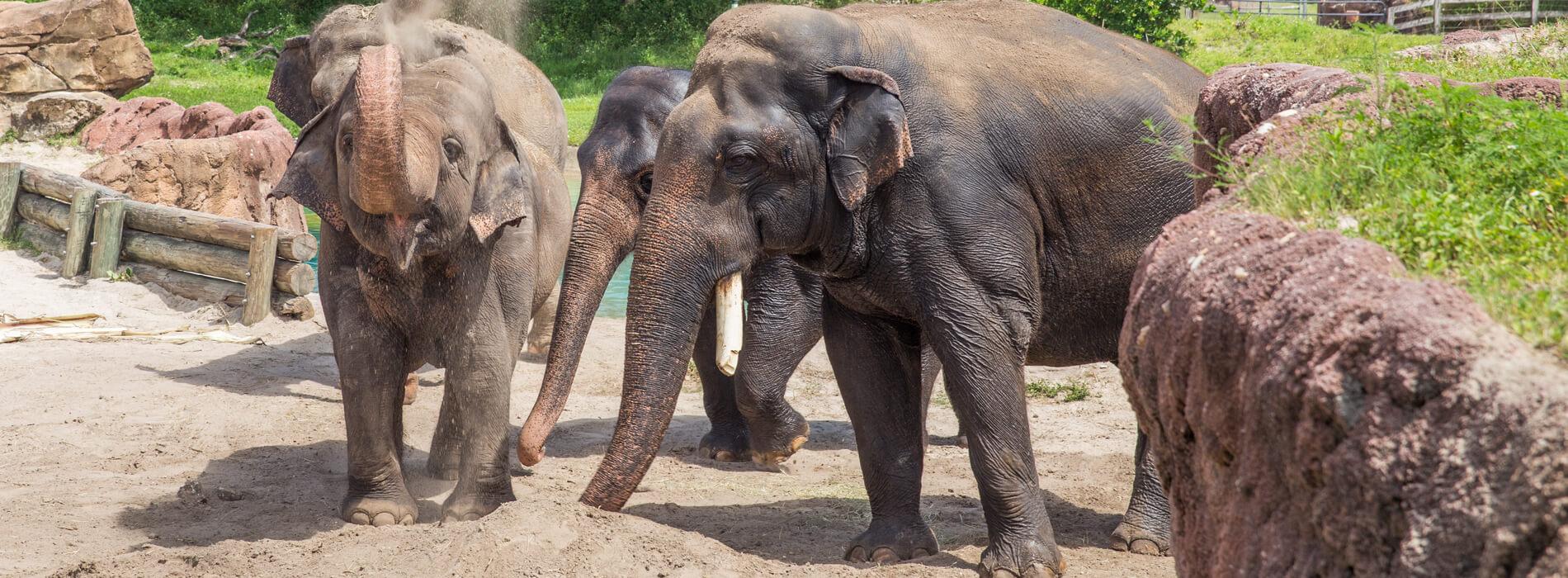 Asian Elephants at Busch Gardens Tampa Bay