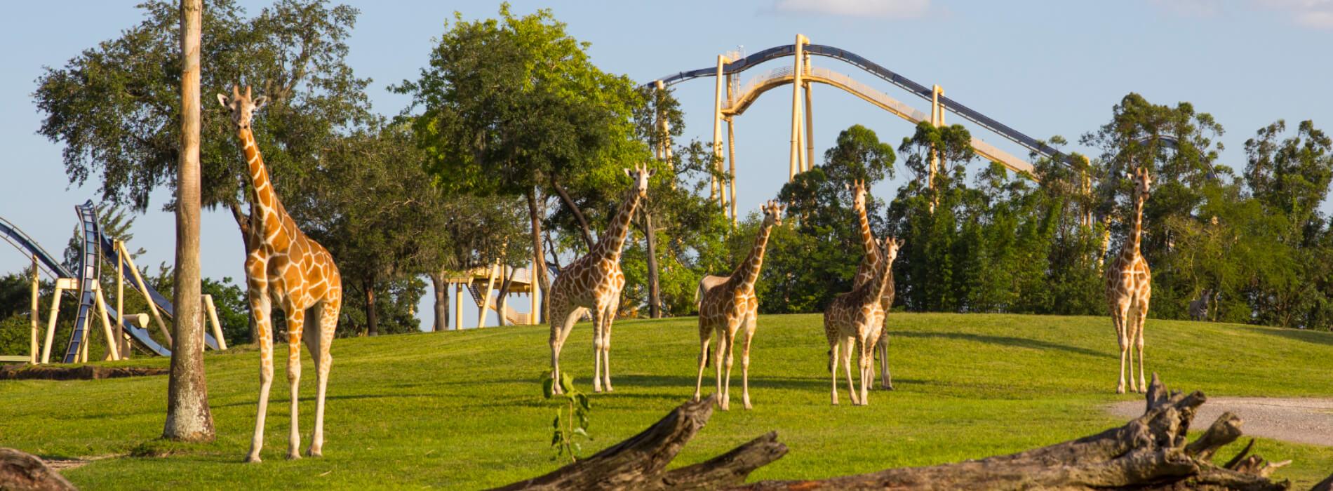 See the Giraffe at Busch Gardens Tampa Bay