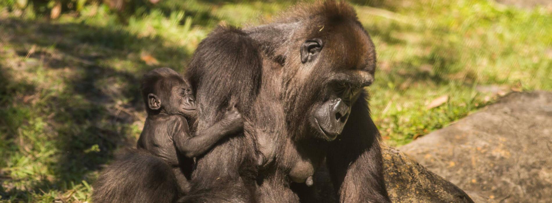 Gorillas at Busch Gardens Tampa Bay