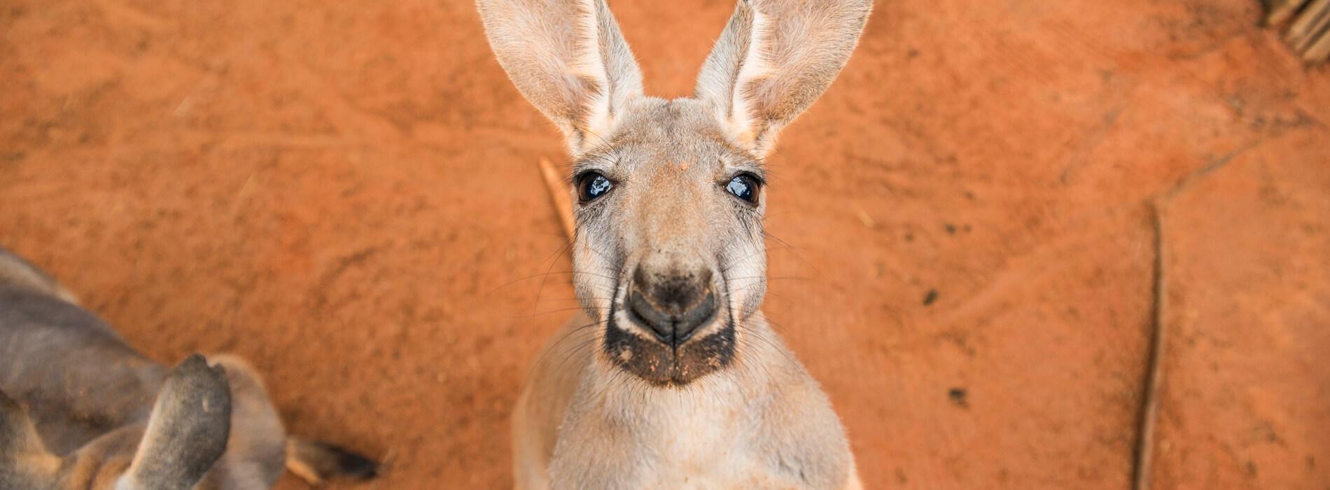Kangaroos at Busch Gardens Tampa Bay