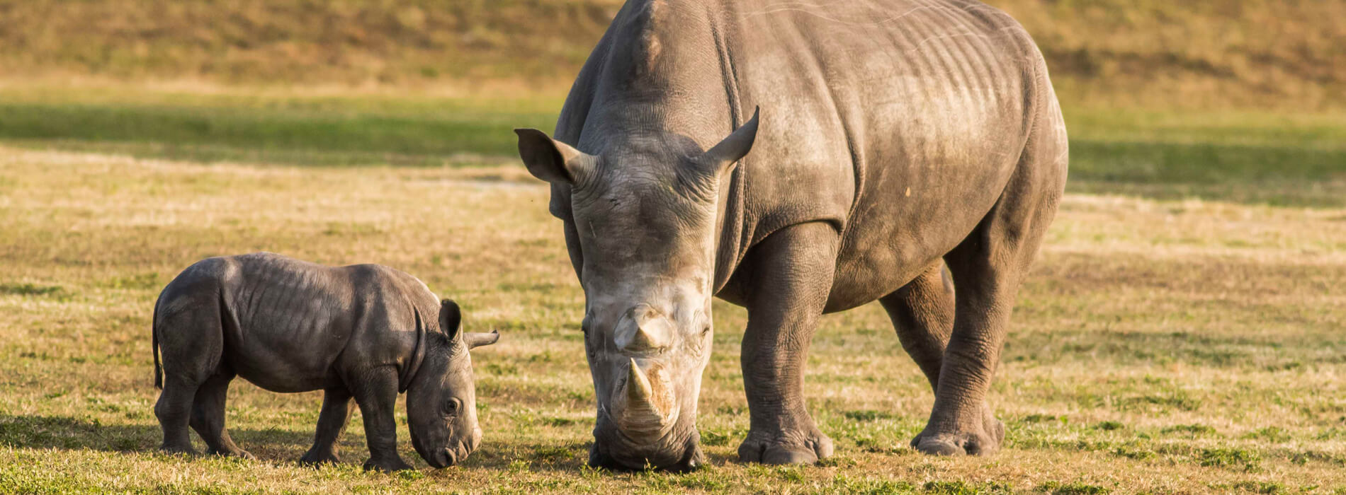 Rhinos at Busch Gardens Tampa Bay