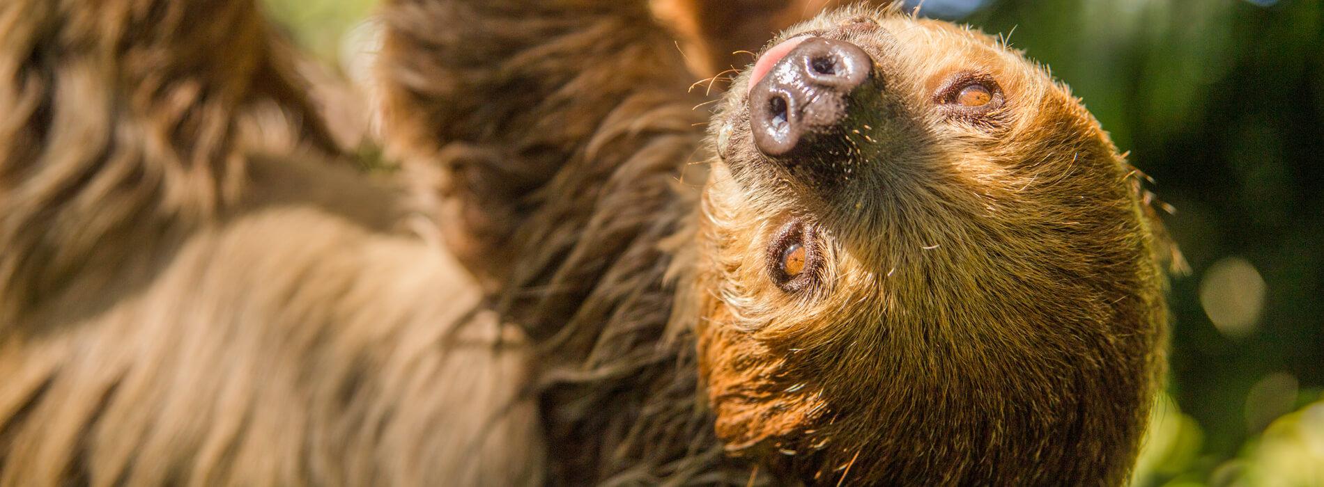 Sloths at Busch Gardens Tampa Bay
