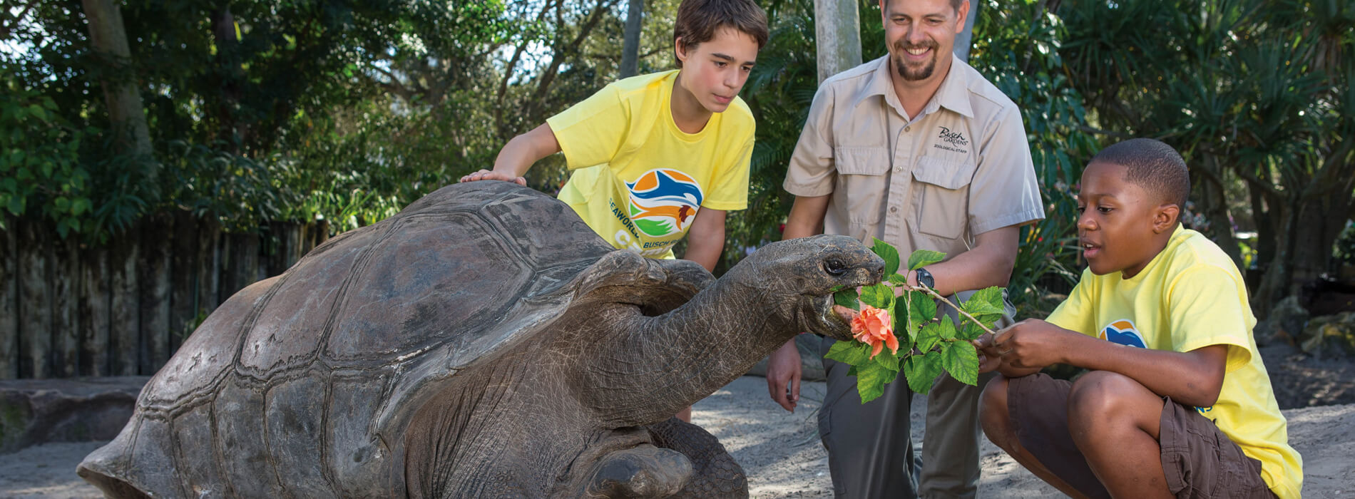 A male host wearing brown clothes and two boys wearing yellow t-shirts feed a large Aldabra tortoise plants at Busch Gardens Tampa Bay animal theme park, located in Florida