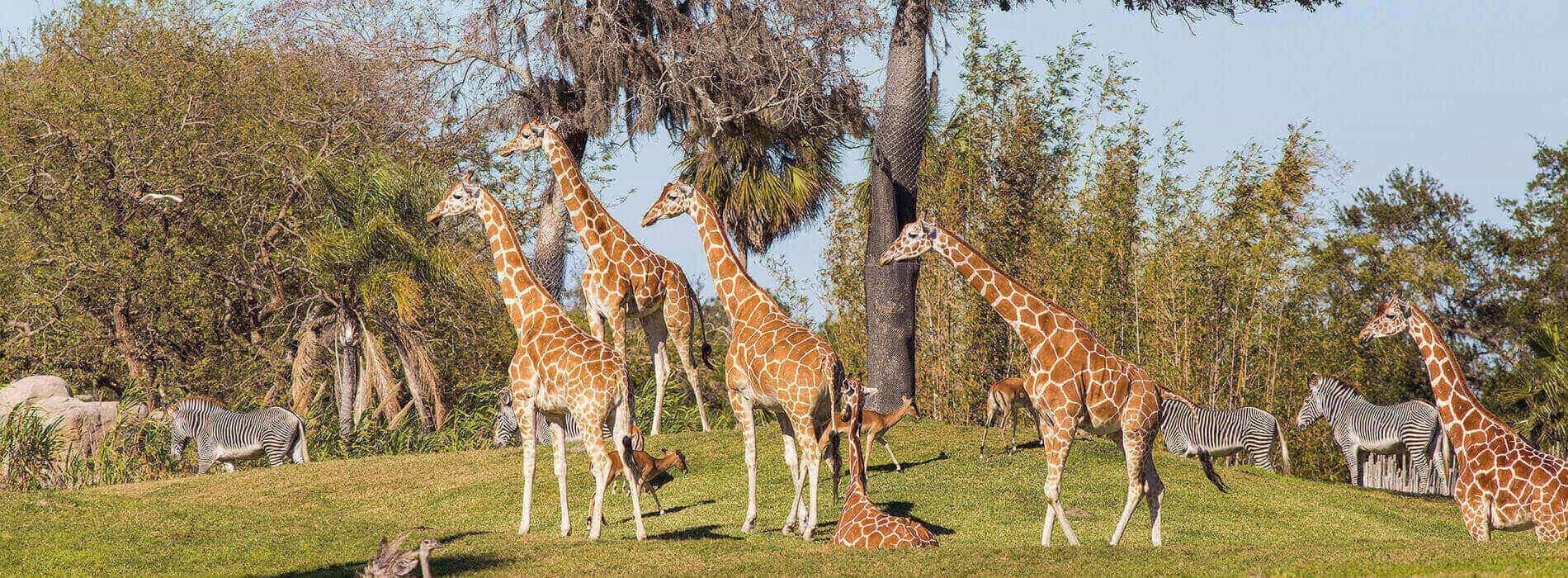 Visit the Serengeti Plains at Busch Gardens Tampa Bay