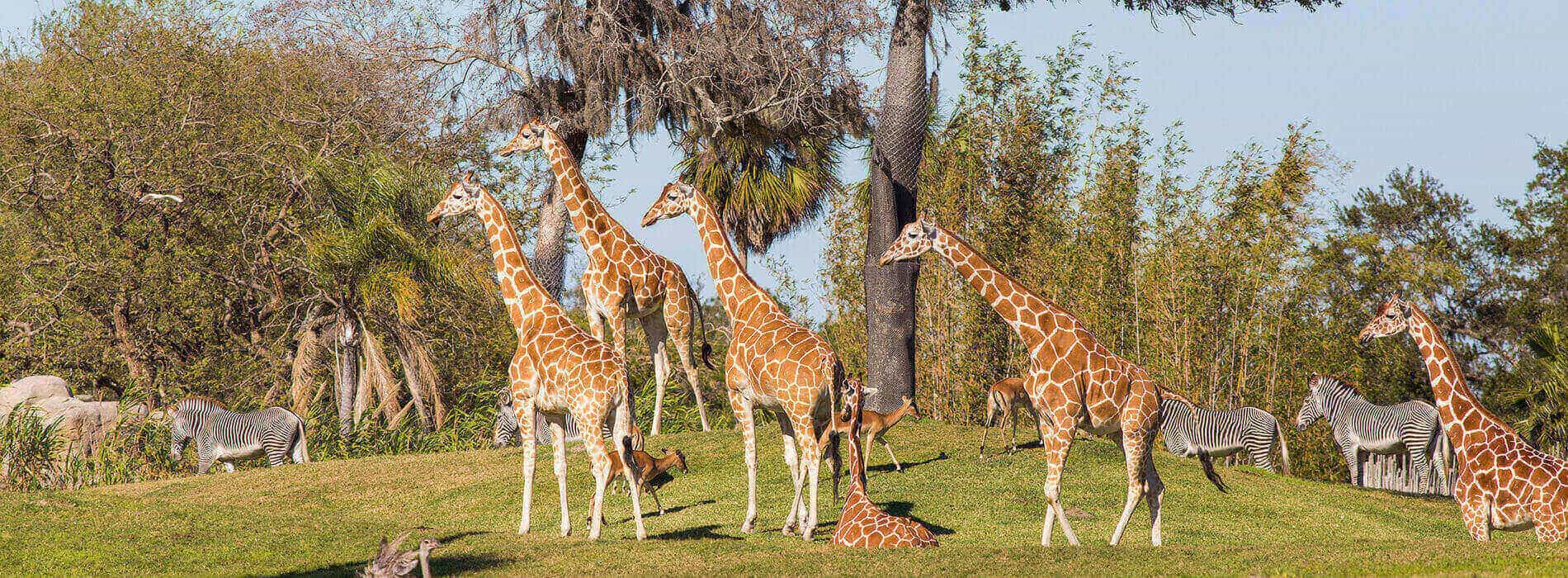 Visit the Serengeti Plains at Busch Gardens Tampa Bay