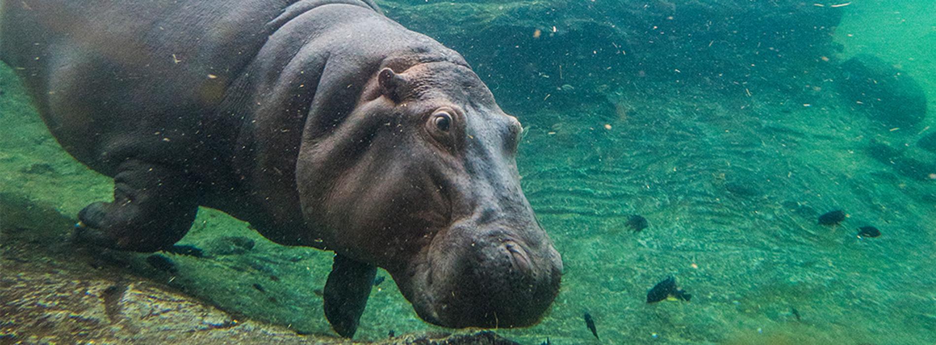 Hippo Tour at Busch Gardens Tampa Bay