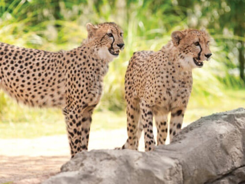 Get up-close with cheetahs on the Cheetah Insider Tour at Busch Gardens Tampa Bay