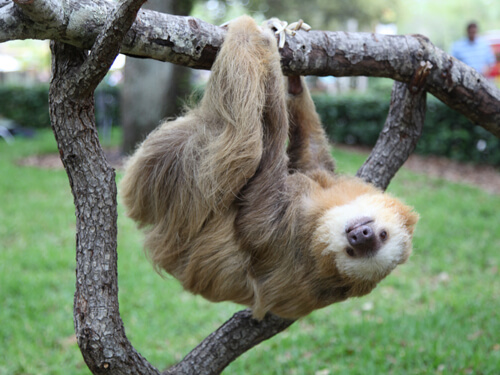 Get up close to sloths on the Sloth Insider Tour at Busch Gardens Tampa Bay