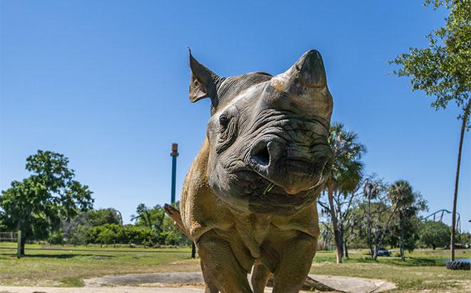 Rhino poop grows a papaya tree at Busch Gardens Tampa Bay