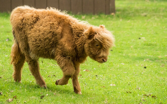 Busch Gardens Williamsburg add new baby cow to Highland Stables