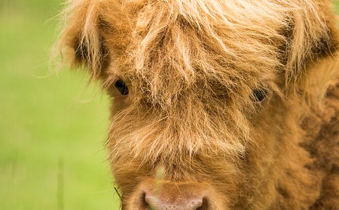 New Scottish Highland cattle calf at Busch Gardens