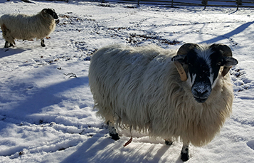 Sheep enjoying the winter weather