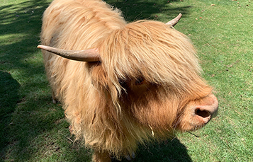 Poppy the Scottish Highland Cow