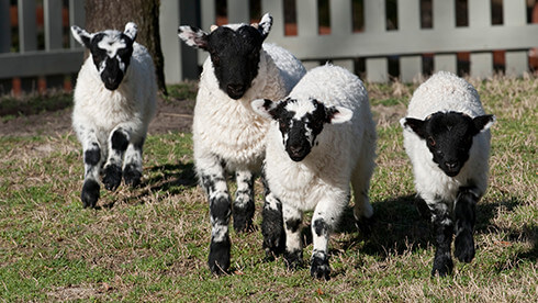 See our blackface sheep at Highland Stables
