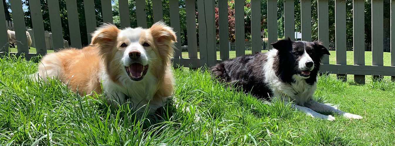 Visit our Border Collies at Highland Stables!
