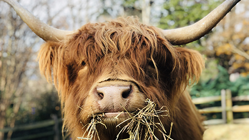 Scottish Highland Cows