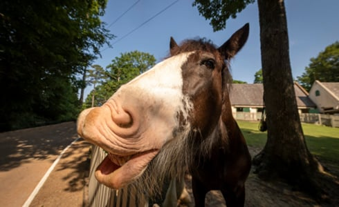 Clydesdale and more animals