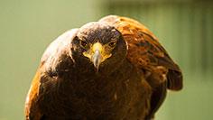 Hawk at Busch Gardens Williamsburg