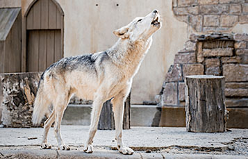 Howl to Coexist animal presentation at Busch Gardens Williamsburg