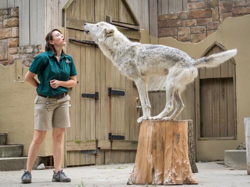 Wolf-Training-UpClose-Tour