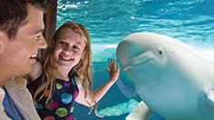 Beluga Underwater Viewing at SeaWorld Orlando